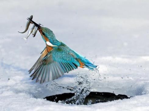 pájaromartin-pescador